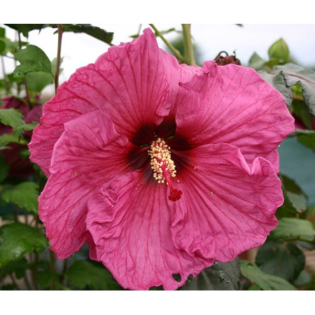 Plum Crazy Giant Hibiscus Rose Mallow Perennial 4 Pot Walmartcom
