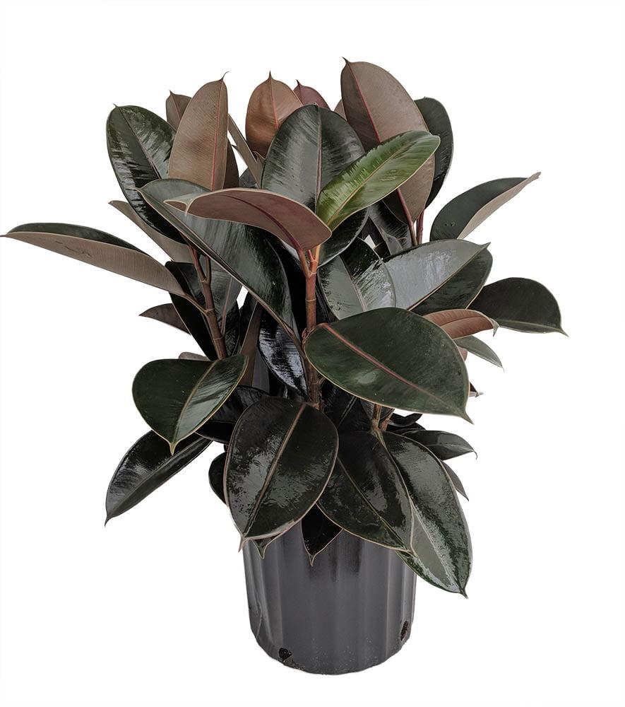 Picture of Live Rubber Plant Burgandy aka Ficus elastica Foliage Plant Fit 1QRT Pot