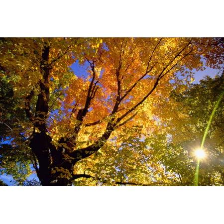 - Sunlight Shining through Sugar Maple Leaf Canopy Print Wall Art By Momatiuk - Eastcott