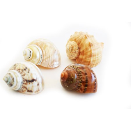 "4 Large Shell Hermit Crab Changing Set - Large 1""-1 1/2"" opening-Select Shells"