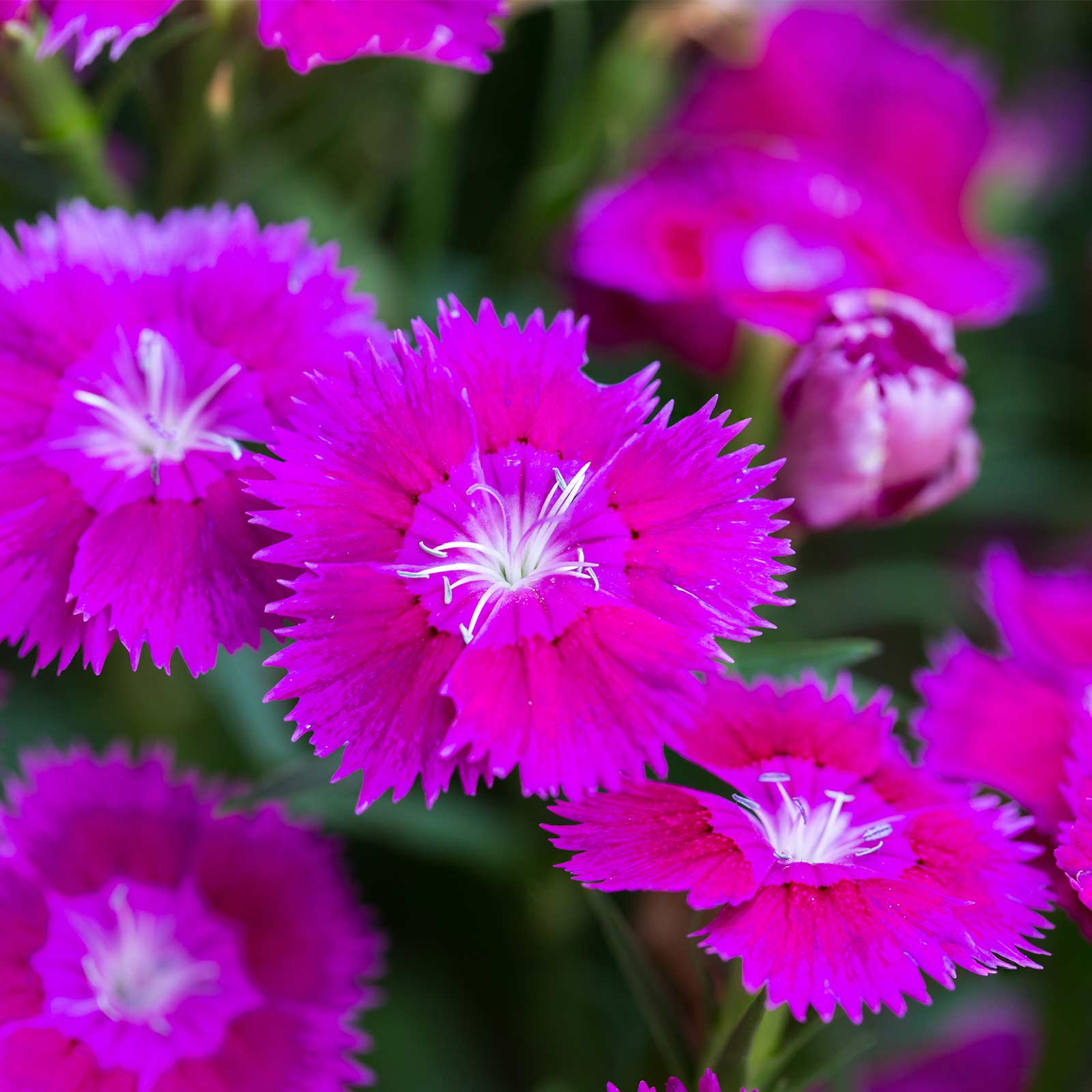 Dianthus Floral Lace Series Flower Seeds - Lilac - 100 Seeds - Annual Flower Garden Seeds - Dianthus chinensis x barbatus