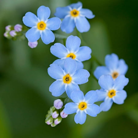 Myosotis flower garden seeds compindi forget me not 1000 seeds myosotis flower garden seeds compindi forget me not 1000 seeds perennial flower gardening mightylinksfo