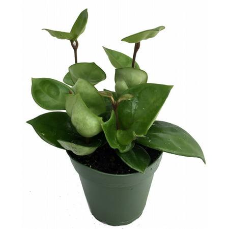 Green Wax Plant - Hoya - Great House Plant - 4