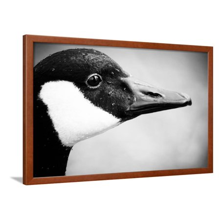 Canadian Goose II Framed Print Wall Art By Beth Wold