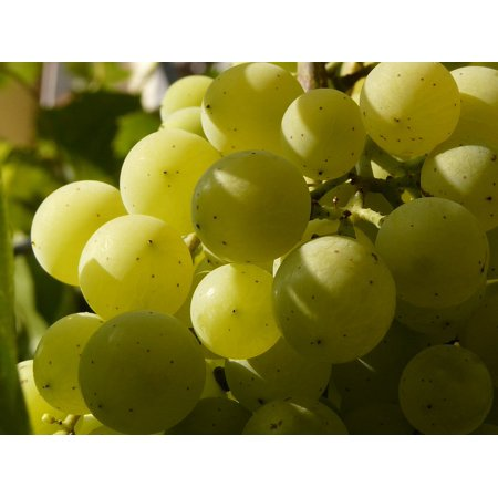 LAMINATED POSTER Cluster Grape Grapes Grapevine Berry Wine Balls Poster Print 24 x 36