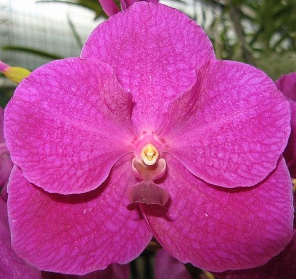 Orchid - Vanda Bangsai Queen 4N ….. Stock #282