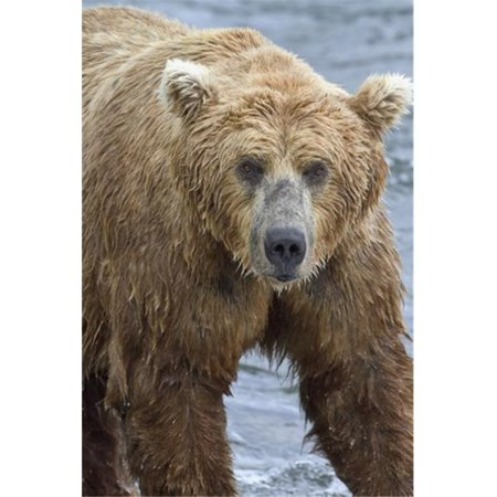 Close Up Portrait of A Brown Bear Standing in Brooks River Katmai National Park & Preserve Southwest Alaska Poster Print by Gary Schultz, 24 x 38 - Large - Bear Standing Up