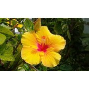 Hawaiian Exotic Flower Plant Roots Yellow Hibiscus Unrooted - 1 Pack