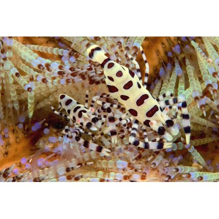 - Two Coleman Shrimp Clear Section Of Fire Urchin Of Tube Feet And Spines PosterPrint
