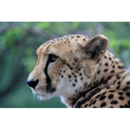 Dana Underdahl Stretched Canvas Art - Cheetah II - Small 10 x 14 ...