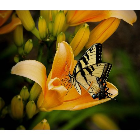 LAMINATED POSTER Swallowtail Papilio Wing Animal Wildlife Butterfly Poster Print 24 x 36 Swallowtail Life Cycle