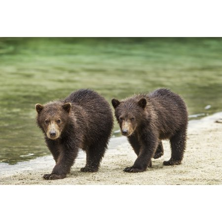 Two Coastal Brown Bear Spring Cubs (Ursus arctos) walking along salmon stream by Kuliak Bay Katmai National Park Southwest Alaska Canvas Art - Paul Souders  Design Pics (19 x 12) Alaska Cub Bear Knife