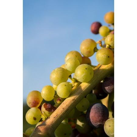 Laminated Poster Wine Pinot Noir Immature Fruit Grapes Vine Poster Print 11 x 17