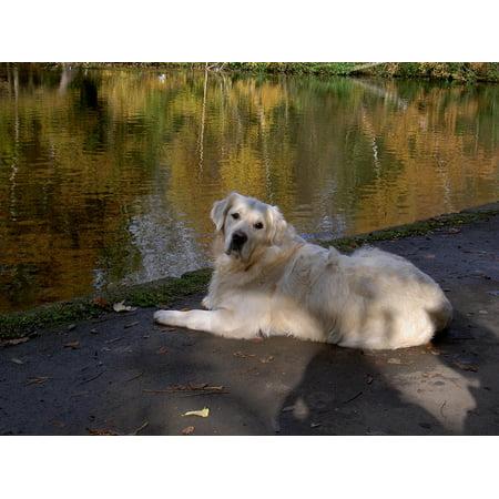 LAMINATED POSTER Retriever Pet Dog Canine Poster Print 24 x (Retriever Dog Print)