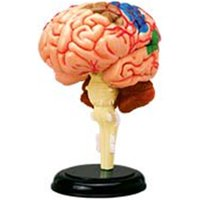 4D Human Brain Anatomy Model