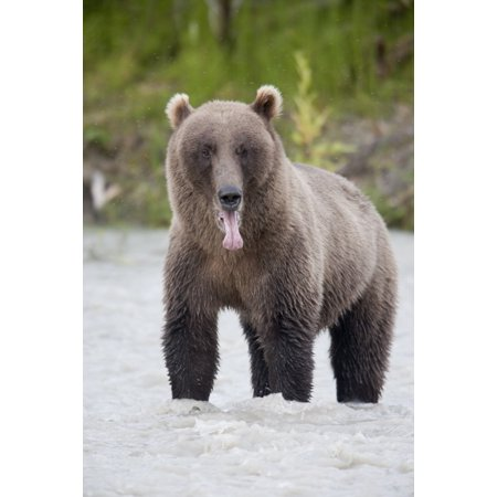 Copper River Fleece - Posterazzi Brown Bear Sticking Out Its Tongue While Standing In The Copper River Chugach Mountains Chugach National Forest Alaska Southcentral Summer Canvas Art - Milo Burcham  Design Pics (22 x 34)