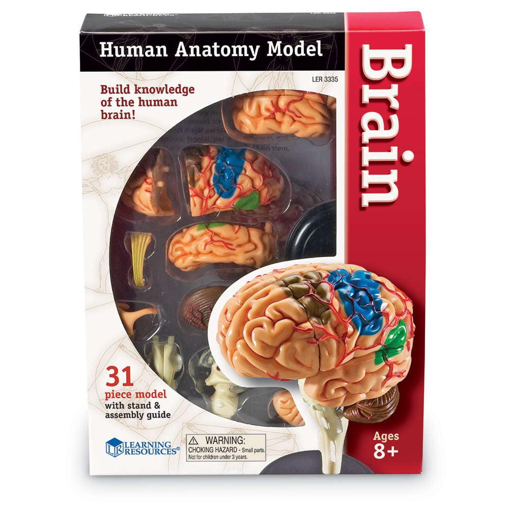 Learning Resources Brain Anatomy Model - Walmart.com