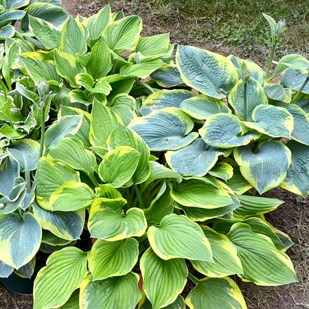 10 Bareroot Hosta Mix