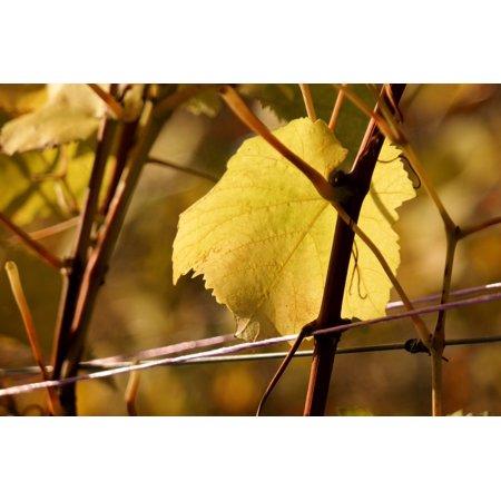 Canvas Print Autumn Wine Golden Autumn Leaf Vine Yellow Stretched Canvas 10 x 14
