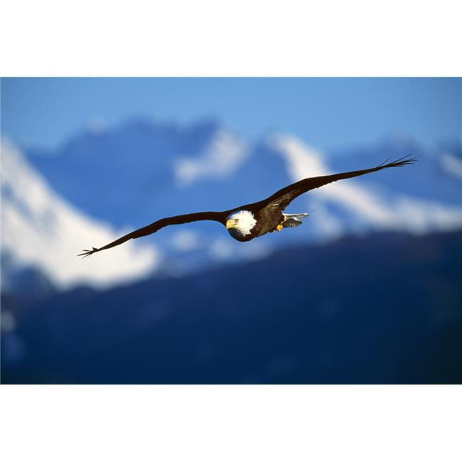 Posterazzi DPI1784735LARGE Bald Eagle Haliaeetus Leucocephalus Poster Print by Natural Selection David Ponton, 36 x 24 - Large - image 1 of 1