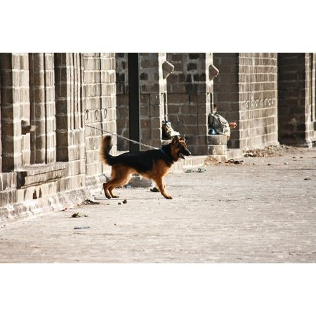 Canvas Print German Shepherd Dog Alert Guard Chained Standing Stretched Canvas 10 x 14