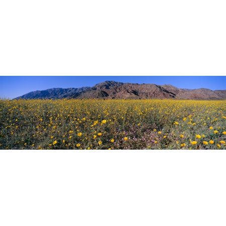 Yellow Canvas Footwear (Panoramic view of Desert Lillies and Desert gold yellow flowers in spring fields of Death Valley National Park California Canvas Art - Panoramic Images (27 x)
