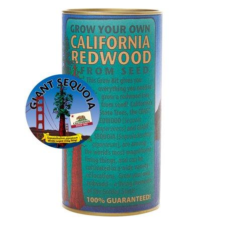 California Redwood (Sequoiadendron giganteum)   Tree Seed Grow Kit   The Jonsteen Company