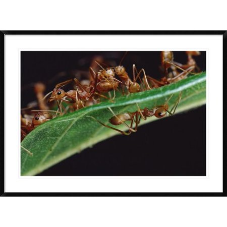 Global Gallery Green Tree Ants On Leaf With Ant Mimicking Jumping Spider Hiding Below  Sri Lanka Framed Photographic Print