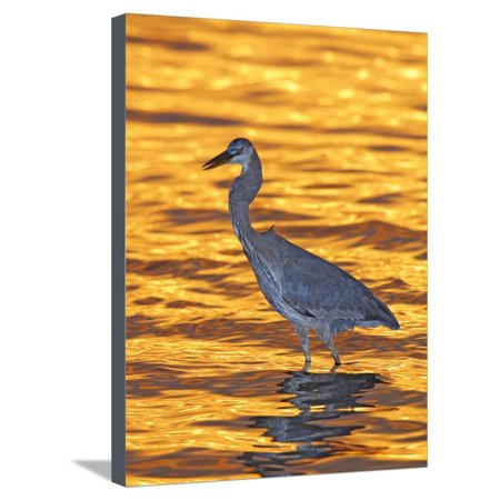 Great Blue Heron in Golden Water at Sunset, Fort De Soto Park, St. Petersburg, Florida, USA Stretched Canvas Print Wall Art By Arthur (Fort De Soto Park St Petersburg Fl)