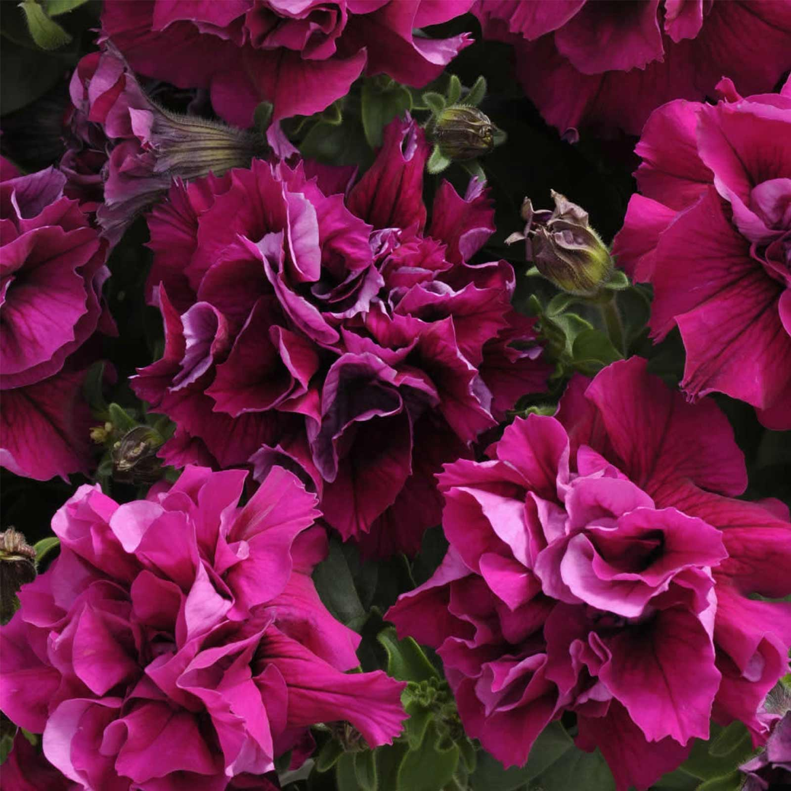 Petunia - Double Madness Series Flower Garden Seed - 1000 Pelleted Seeds - Color Mix Blooms - Annual Flowers - Double Floribunda Petunias