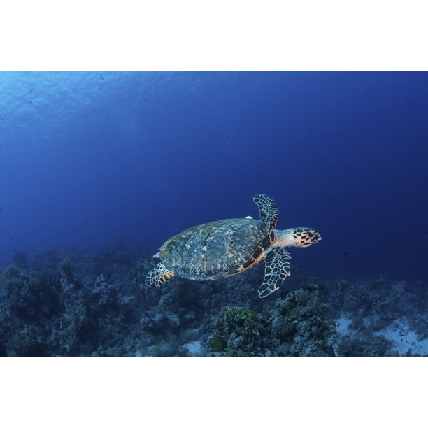 A Hawksbill Turtle On Sharks Reef In The Red Sea Poster Print By Brook Peterson Stocktrek Images Walmart Com Walmart Com