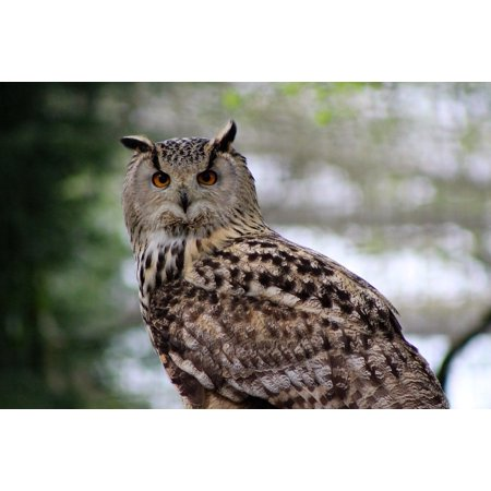LAMINATED POSTER Large Owl Nature Long Eared Owl Wildlife Large Owl Poster Print 24 x 36