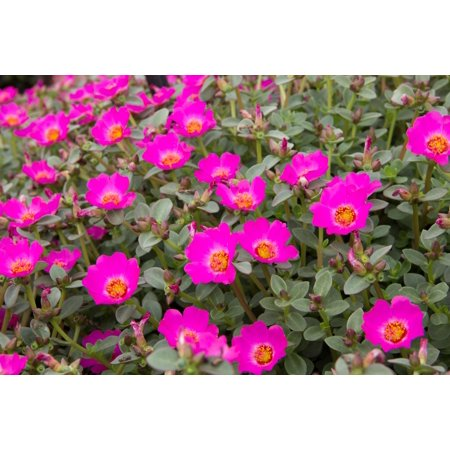 - Delray Plants Purslane (Portulaca oleracea) Easy to Grow Live Annual Plant, 3-pack, Pink Flowers
