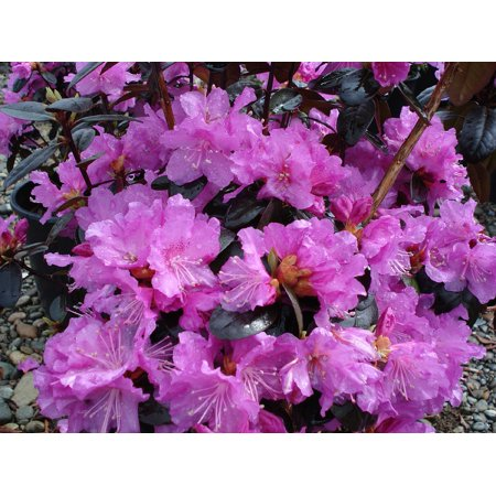 P.J.M. Checkmate Compact Rhododendron - Very Hardy - Spectacular - 2.5