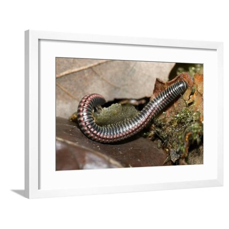 Striped Illipede In Leaf Litter Framed Print Wall Art By Paul Harcourt Davies ()