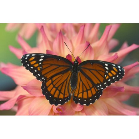 Viceroy Butterfly a Mimic of the Monarch Butterfly Print Wall Art By Darrell Gulin