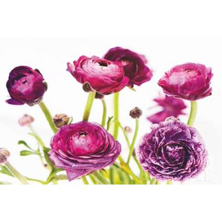 Marshall Spring (Spring Ranunculus III Poster Print by  Laura)