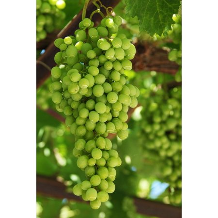 Canvas Print Grapes Green Cluster Agriculture Fruit Fresh Food Stretched Canvas 10 x (Fruit Cluster)