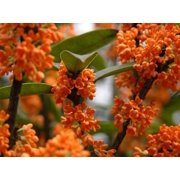 Orange Flowering Fragrant Tea Olive (osmanthus) - Live Plant - ( TG )