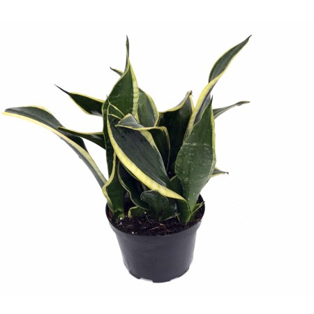 Compact Black Gold Snake Plant -Sanseveria- Impossible to kill! - 4