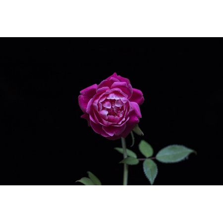 Canvas Print Red Roses Dark Green Leaf Rose Black Wallpaper Stretched 10 X 14