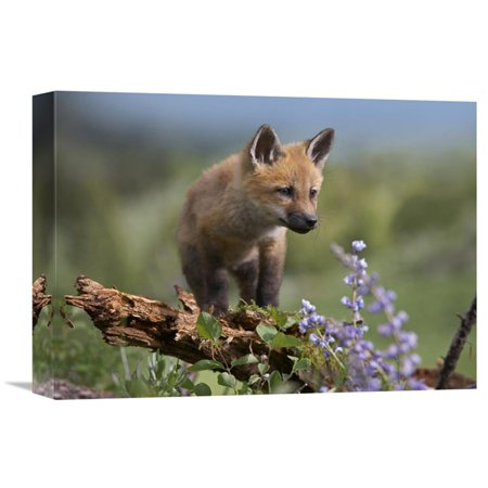 Global Gallery Red Fox Kit Climbing North America Wall Art