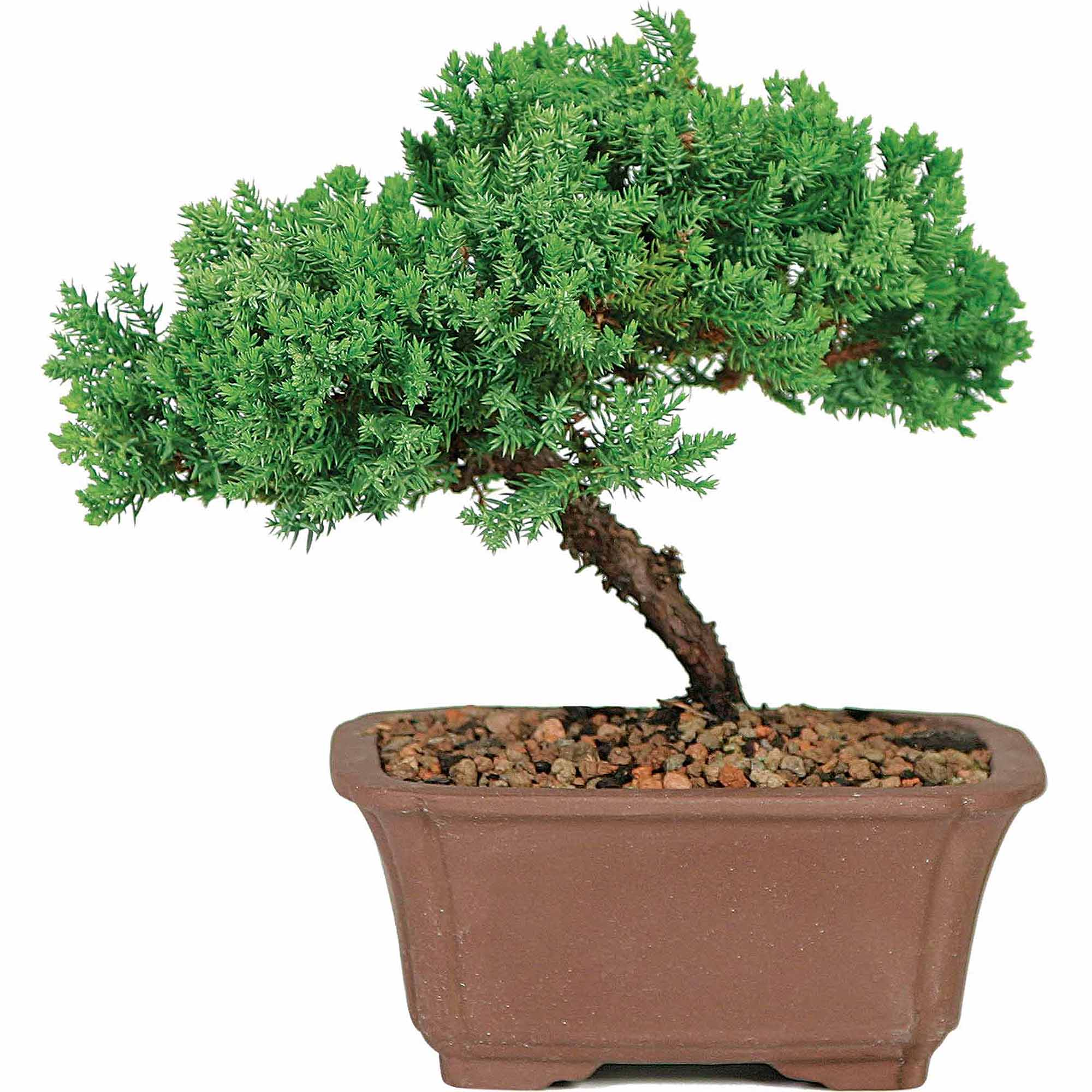 Brussel S Green Mound Juniper Bonsai Small Outdoor Not Sold In California Walmart Com Walmart Com