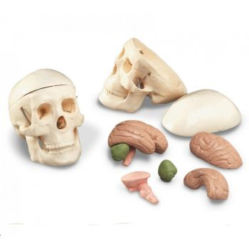 Anatomical Chart Miniature Skull With 8-part Brain