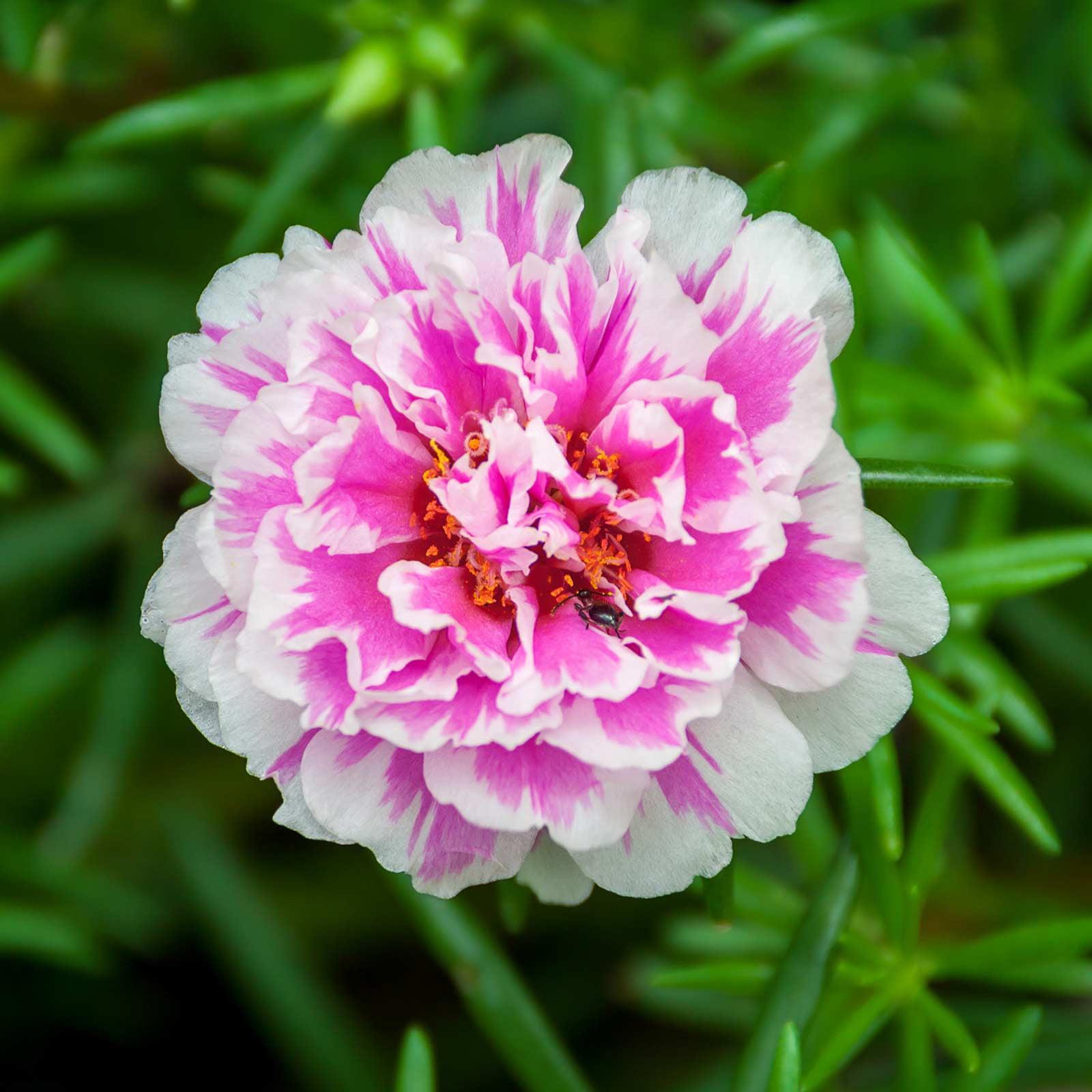 Portulaca Flower Seed - Sundial Series - 1000 MultiSeed Pellet Seeds ...