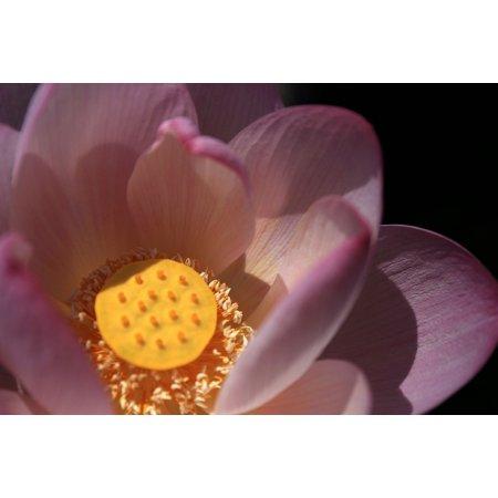 LAMINATED POSTER Powder Pistil Pond Lotus Petal Bright Flower Poster Print 24 x 36