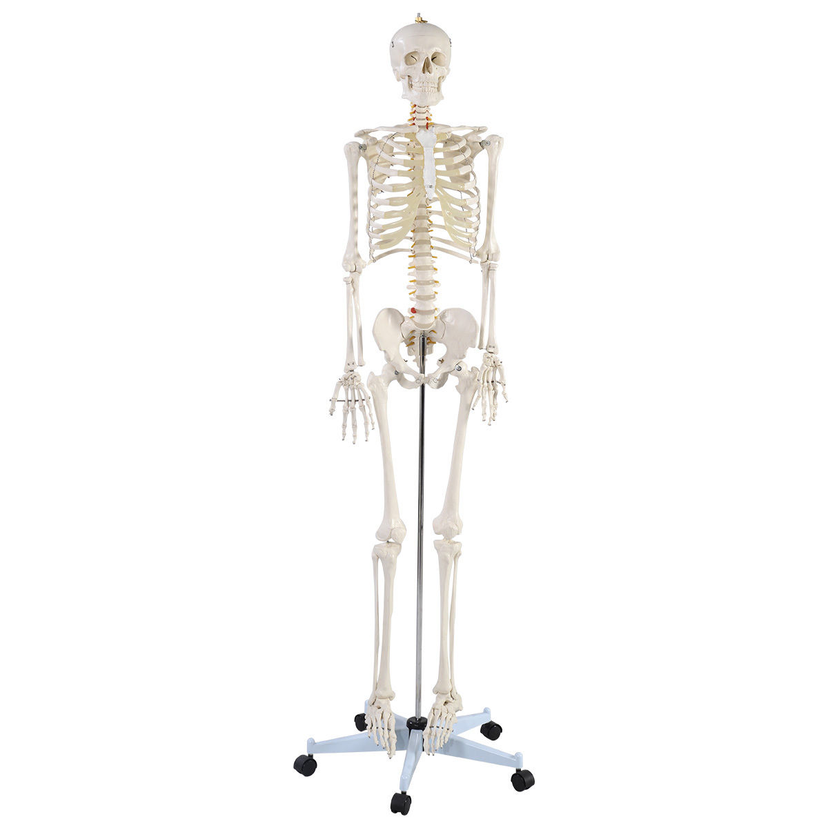 Costway Life Size Human Anatomical Anatomy Skeleton Medical Model + Stand by Costway