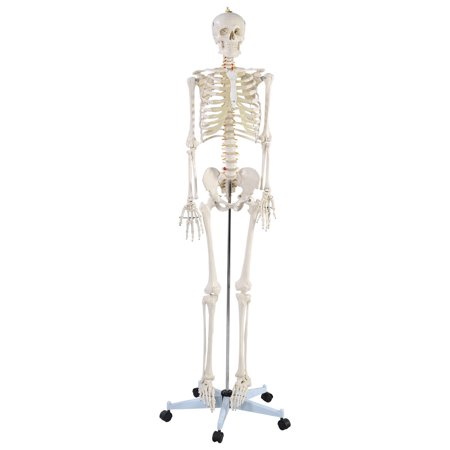 Costway Life Size Human Anatomical Anatomy Skeleton Medical Model + Stand - Anatomy Games