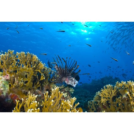 - Lionfish foraging amongst corals and reef fish Papua New Guinea Canvas Art - Steve JonesStocktrek Images (35 x 24)