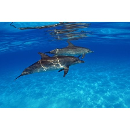 Caribbean Bahamas Bahama Bank Two Atlantic Spotted Dolphin Stenella Plagiodon Stretched Canvas - Dave Fleetham  Design Pics (18 x 12) (Piggy Bank Dolphins)